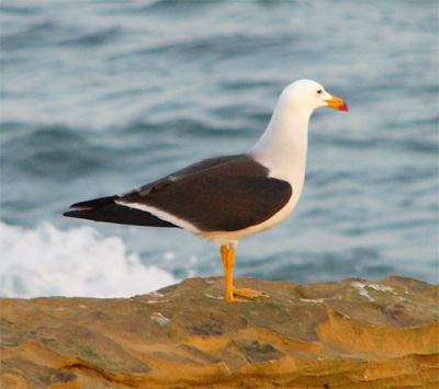 Band-tailed Gull