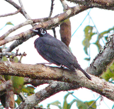 Bare-necked Fruitcrow