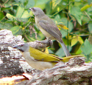 Buff-throated Saltator and Blue-gray Tanager