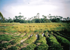 Lamin Ricefields