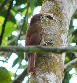 Lineated Woodcreeper