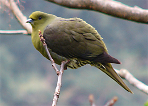 Red-capped Green Pigeon